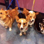 The Fabulous Four: An Update On the Rescued Auction #Corgis!