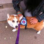 Luna The #Corgi Earns Her AKC Therapy Dog Stripes!