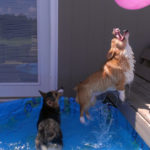 #Corgi Pool Party: Pippa and Petals!