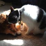 #Corgis n' Cats: Rosie and Friend