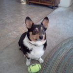 Are Your #Corgis Ready For Some Football?!