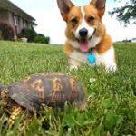 Turbo The #Corgi's Turtle Surprise