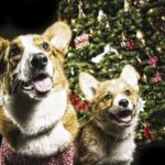O Christmas Tree, O Corgi Tree!