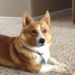 Cappy of California: A Traveling #Corgi Home At Last!