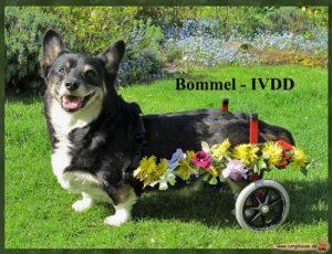 Bommel IVDD