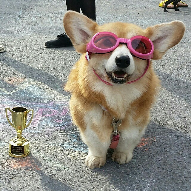 Hazel Bear won Best Diva Dog at BarkBox's Kentucky Derpy!