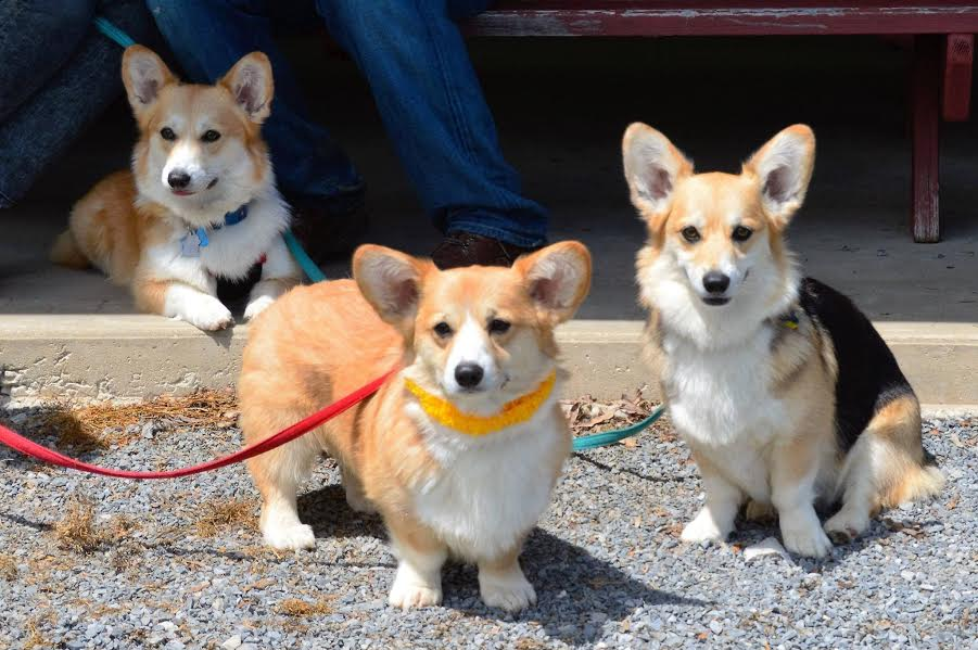 At the 2016 PWCCP Corgi Fun Fair in Maryland: Tri-color Nicki, Turner (wearing the Hawaiian lei because he won his Canine Good Citizen award at just a year old), and Nick's grandpuppy Nola, who loves being a dog-about-town in DC.
