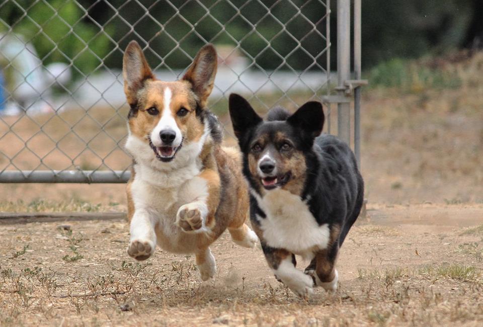 Oliver and Velvet-Paulette, giving chase to chickens.