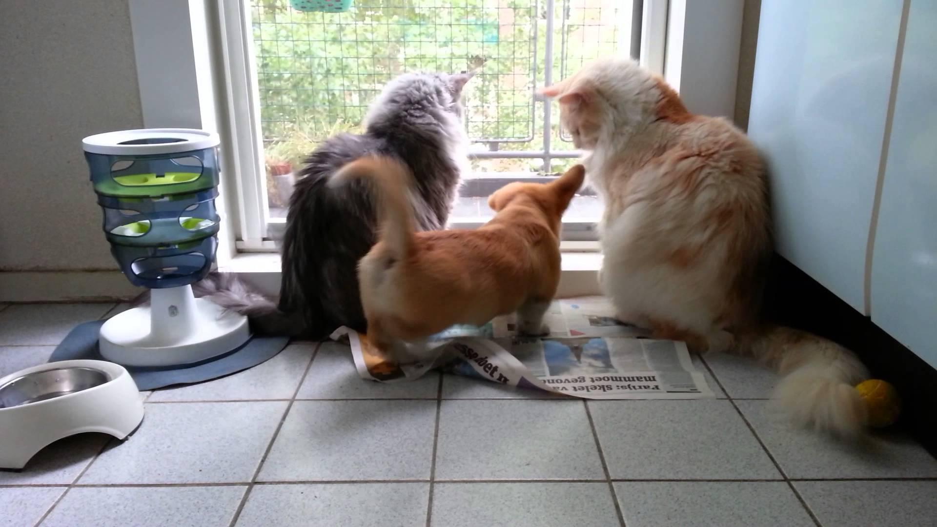 corgcatss
