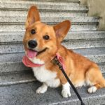 Tongue Out Tuesday: Ten Seriously Derpy Corgis!