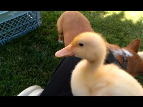 Click the pic to view a VIDEO of a Corgi herding ducklings!