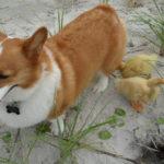 Release The Quackin': Corgis + Ducks!