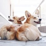 20 Corgis Who Caught You Looking At Their Butt. AGAIN.