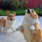 Wordless Wednesday: 23 Corgis Who MIGHT Have Tied One On