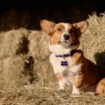 Shy Sydney, All Love and Ears: A Cardigan Welsh Corgi Story