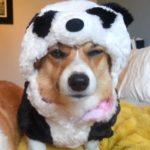 Panda-monium, Corgi Style!