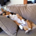 Wordless Corgi Wednesday: Nine (and-a-half) Nappy Noodlers!