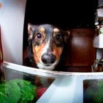 8 Corgis + A Half-Pint: Food Goes HERE!