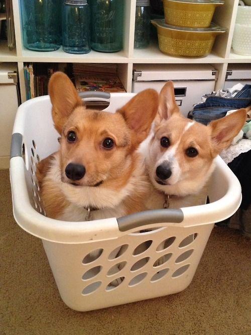 A Tisket A Tasket A Corgi In A Laundry Basket The