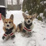 Frosty Friday Fun, Corgi Style!
