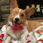 Wag-Worthy Wednesday: 22 Corgi Smiles