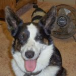Cardigan Corgi Roll Call: 58 Faces and I Want YOURS Too!
