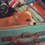 Wordless Wednesday: 11 Stowaway Corgis In Your Luggage!