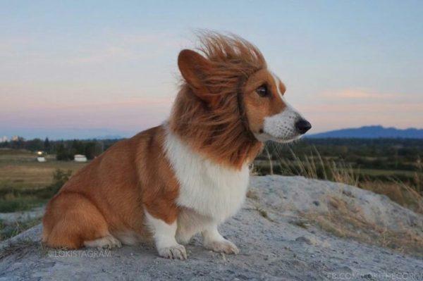 I Am The Lion Corgi The Daily Corgi