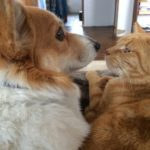 Corgis n' Cats: You & Me Against The World