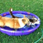Summer Fun: Corgis and Their Personal Pools!