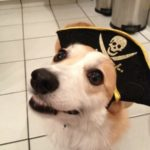 16 Corgi Smiles and a Cheesy Pirate Grin!