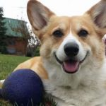 MINE! 52 Corgis and Their Favorite Toys