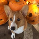 Nothing Says Autumn Like Pumpkins and Corgis!