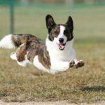10 Corgis Who Believe They Can Fly
