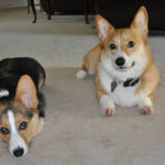 Throwback Thursday: Moriarty and Winston, A Tail of Two Corgis (Without Tails)
