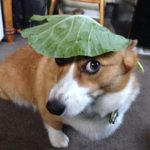Wayback Wordless Wednesday: 23 Corgis Who MIGHT Have Tied One On!