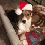 49 More Christmas Corgis — and A Call for Your New Year's Eve Pics!