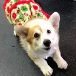 Day 1 of Twelve Big Beautiful Days of Christmas Corgis!